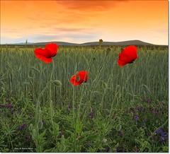 poppies... photo by robin & simona benea