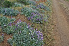 12a. Lupine Habitat Photo