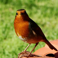 My friend, the Robin photo by Theresa_Gunn