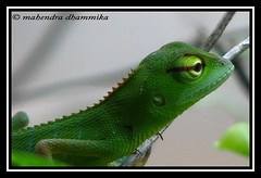 Green Forest Lizard (Calotes calotes) photo by dhamz