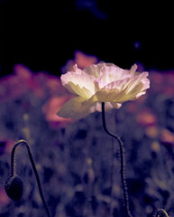 Poppy photo by Baba Sakae