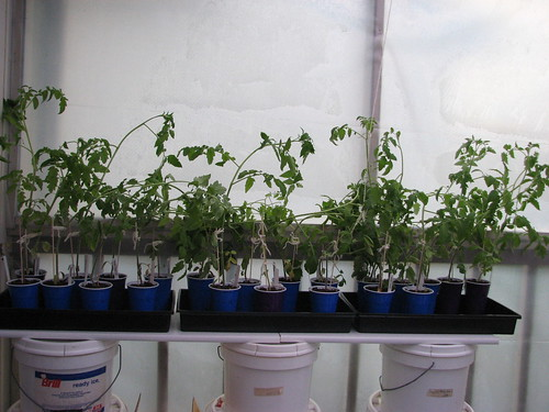 "tomatoes in ""greenhouse"""