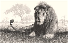 'Lion Country' - Male Lion - Fine Art Pencil Drawings www.drawntonature.co.uk photo by kjhayler