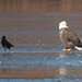 Crows, Eagles, Most of a Cormorant