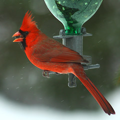 Cardinal_4064crop photo by JGKphotos