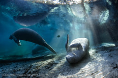 Manatee_In_Light_20 photo by oceangrant