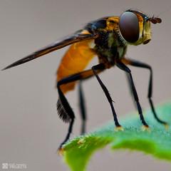 Hover Fly macro photo by JeremyHall