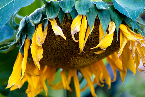 Sunflower Wilting