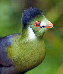 White Cheeked Turaco photo by Steve Wilson - over 7 million views Thanks !!