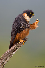 Bat Falcon (Falco rufigularis) photo by *Ryan Shaw