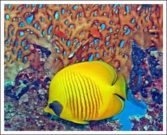 Masked butterflyfish photo by Zé Eduardo...