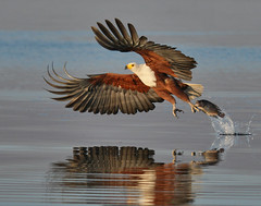 fish eagle with prey photo by michaelrosenbaum