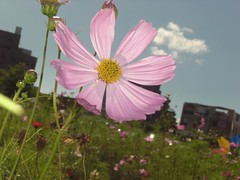 Cosmos: Pink