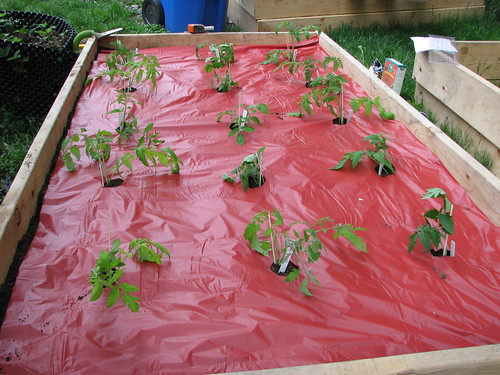 tomatoes transplanted