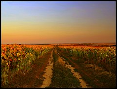 Sunflower Fields photo by JoannaRB2009