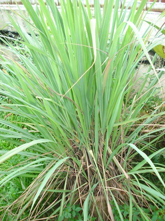 How To Grow Lemongrass? | The Potted Vegetable Gardener