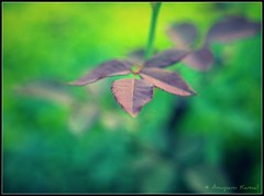Purple Leaf photo by Anupam Kamal
