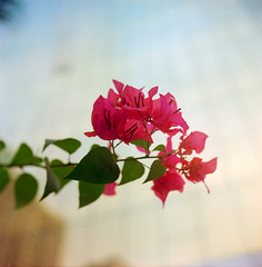Bougainvillea 三角梅 photo by Peter 星