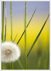 Dandelion in the grass photo by ekropka
