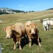 Great Cows