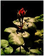 Aşk gül gibidir Yusûf'a benzer.. photo by {esmaLâle}