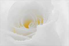 Flower / Rose Flower / Macro Flower / White Rose Flower / high key / close up rose / closeup / - IMG_9865 - photo by Bahman Farzad