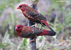 Red  Munia - Two Male photo by sunilsinghalkota