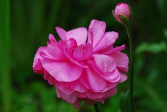 Pink Ranuculus flower after rain (better viewed in large) photo by natureloving
