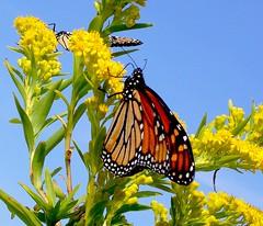 Two Monarch Butterflies photo by KoolPix