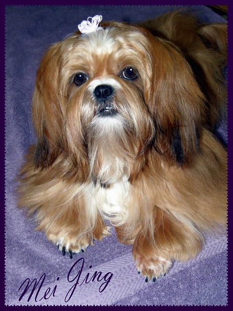 shih tzu breeders in md shih tzu puppies for sale in maryland cheap 7336