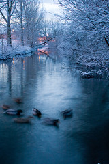 River Ducks Ghostly, Nantwich Cheshire photo by Andy Biggar Photography (Otter Spotter)