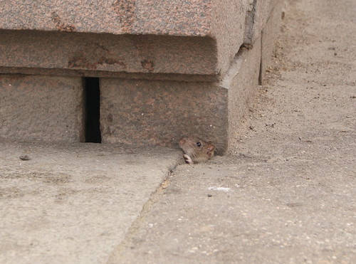 City rat