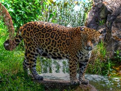 Jaguar Chester Zoo HDR Version photo by 8mm & Other Stuff