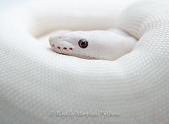 Blue eyed leucistic photo by Royally Morphed Pythons