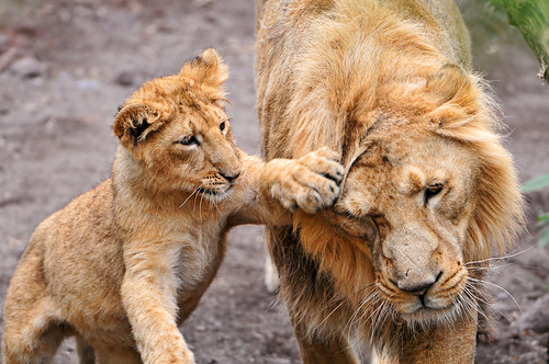 «Hey, wait dad!» photo by Tambako the Jaguar