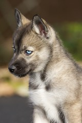 Husky Puppy Portrait 1 photo by Mark-Crossfield
