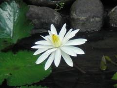 Waterlily: White