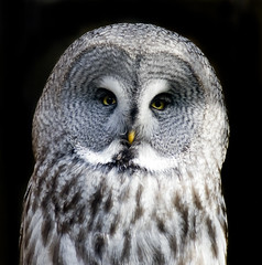 Great Grey Owl at Chester Zoo photo by Steve Wilson - over 3 million views Thanks !!