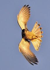 Kestrel (Falco tinnunculus) Explored 26th September 2009 photo by Ronan.McLaughlin