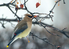 Cedar Waxwing photo by LabradorEars