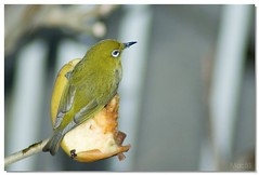 Japanese White-eye(2)