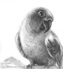 Sun Conure in Black and White - graphite drawing