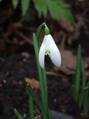 February snowdrop 1