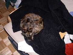 Zazie curls up on my coat