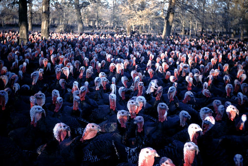 Animal%20021%20-%20turkeys