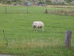 geldofs sheep