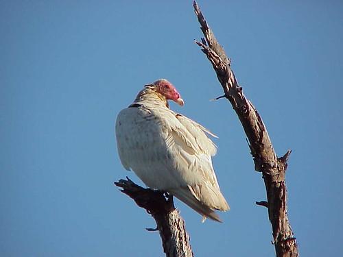 Albino turkey