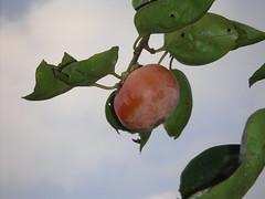 柿 kaki / Japanese persimmon