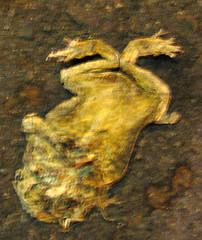 flattened frog