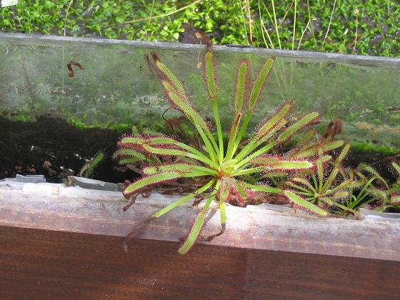 Plantas Carnívoras2